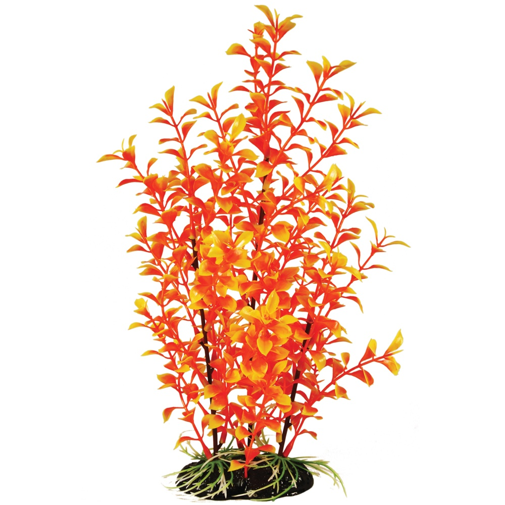 Hugo Kamishi Mayaca Orange Bushy Plant