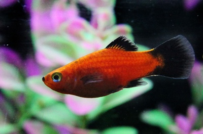 The Platy