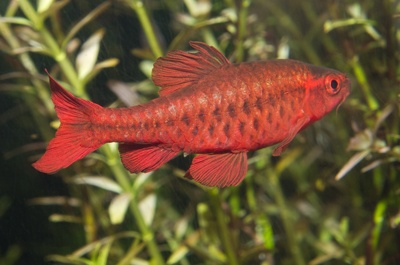 The Cherry Barb