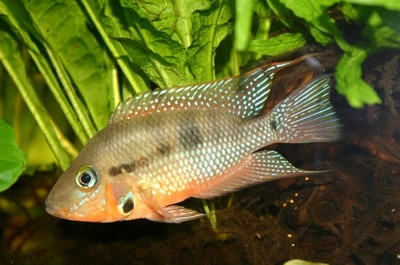 The Fire Mouth Cichlid