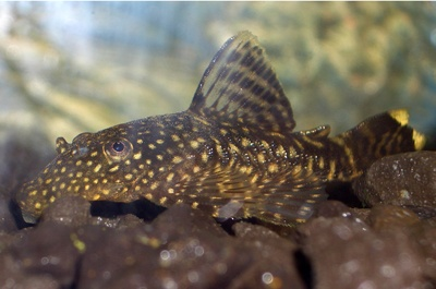 The Tiger Pleco