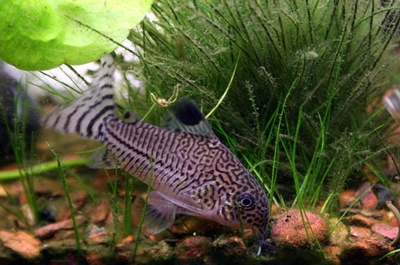 The Cory Catfish