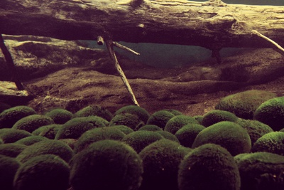 aquarium moss ball